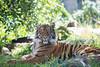 """Elegant Jillian"" (female Sumatran Tiger)"