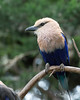 Blue-bellied Roller in the African Aviary