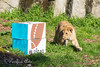 Later on, during the Zooper Bowl 50 event, even Cubby came over to investigate the good smelling boxes.  (African Lion)