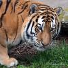 J. T. Bronevik, an Amur (Siberian) Tiger