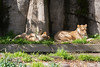 Cubby plays with his paws while Mom naps.  (African Lions)