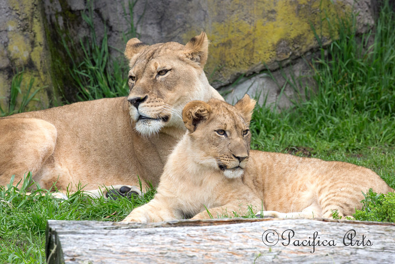 Mom, Sukari, and her great big baby.  (African Lions)