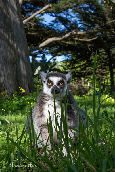 Lemurs are in the forest!<br /> (Ring-tailed Lemur)