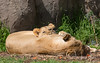 The perfect pillow for a nap!  <br /> (African Lions, Sukari & Cubby)