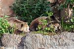 Kachina and Kiona taking their morning nap. (Grizzly Bear)