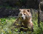 Grizzly Bear, Kachina, enjoying the sunshine.
