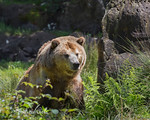 Grizzly Bear, Kachina, sitting in the grass.