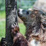 I suspect the Keeper has left some honey on this tree trunk!  (Grizzly Bear, Kachina)