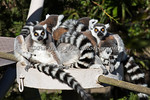 Did you know a group of Lemurs is called a