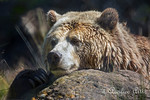 Grizzly Bear, Kachina, using a rock for a headrest.