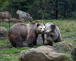 Grizzly Bears, Kachina & Kiona