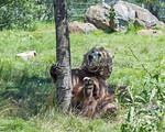 Kachina seems to like this tree!  (Grizzly Bear)