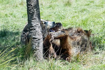 Grizzly Bear Yoga!  (Kachina)