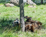 Grizzly Bear,  Kachina, playing in the shade.